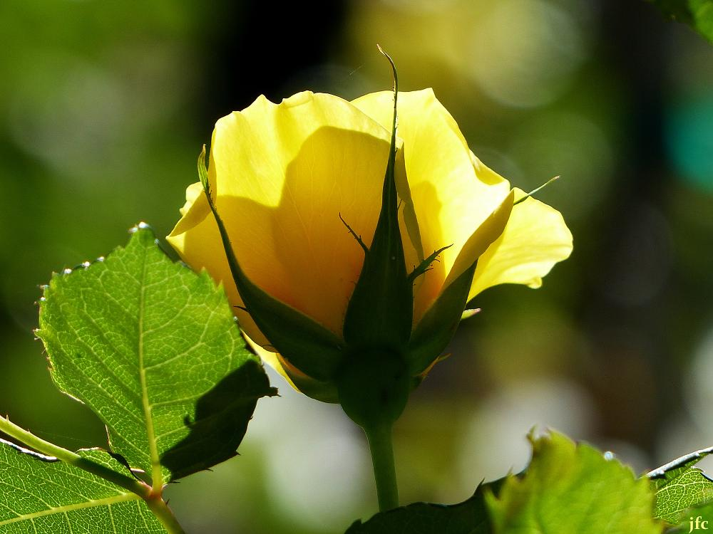 Photo in Nature #rose flower