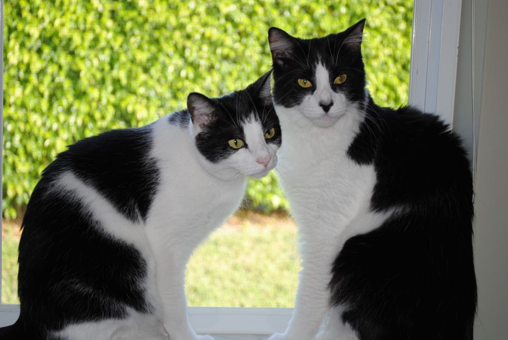 Photo in Animal #tuxedo cats #black and white cats #cats #kittys #adorable