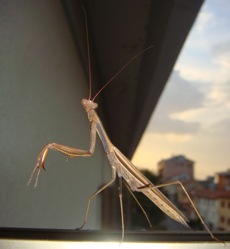 Photo in Macro #mantis #mantide religiosa #mantid #mantodea #praying mantis #insetto #macro #insect #mante religieuse #curiositycontest