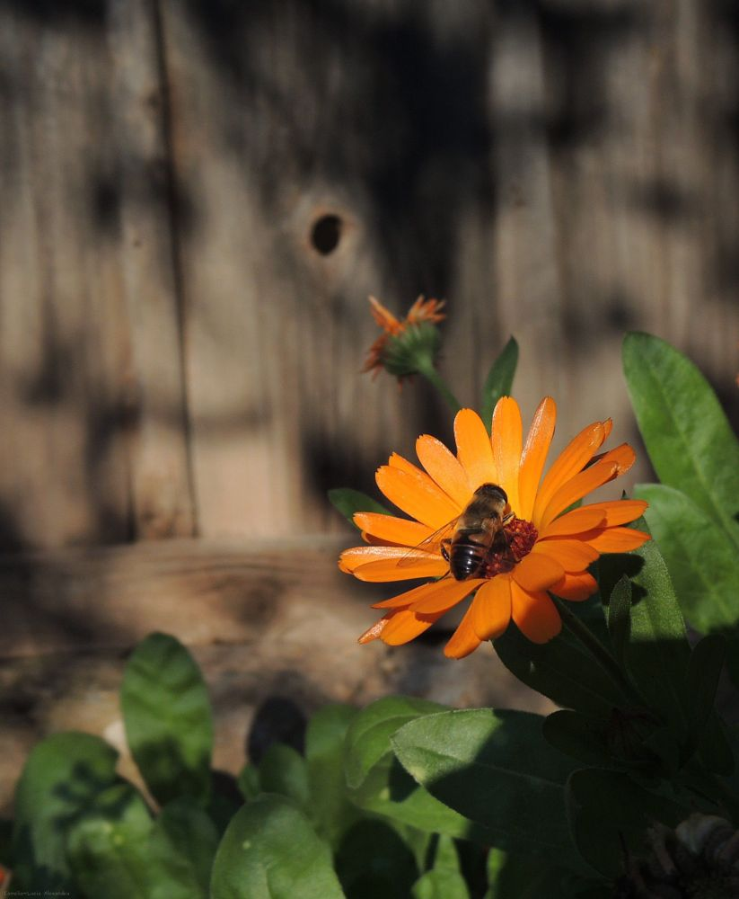 Photo in Nature #nature #flower #bee #orange #sun #light