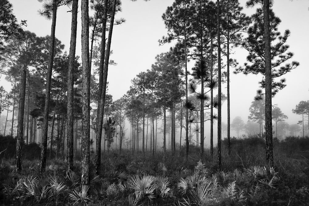 Photo in Black and White #ocala #ocala national forest #florida #tall pines #fog