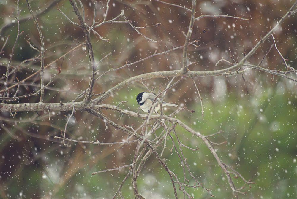 Photo in Animal #bird #chickadee #winter #snow #snowy