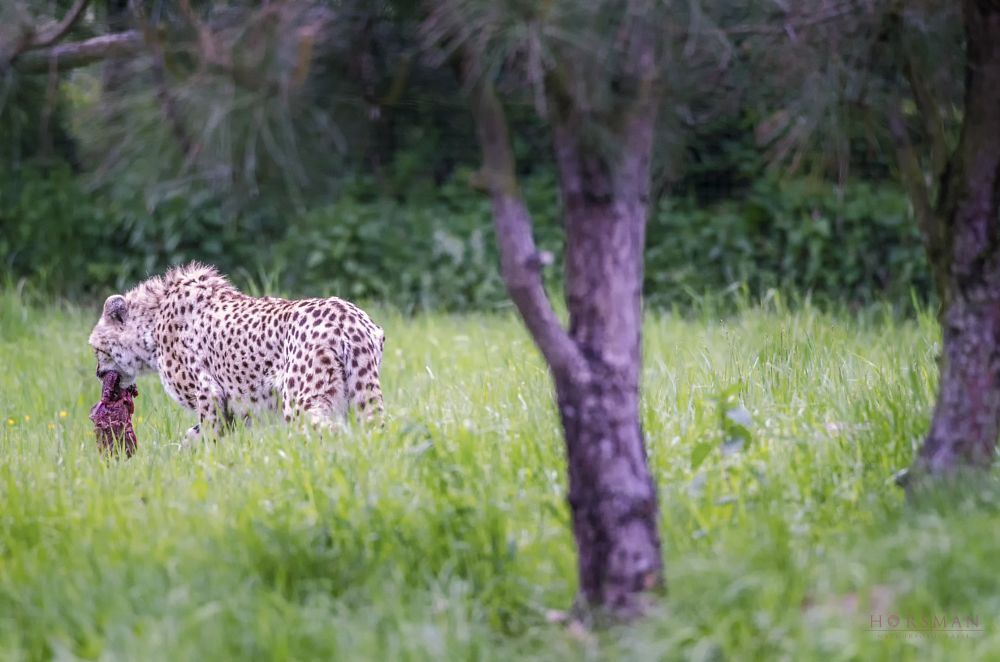 Photo in Animal #leopard #animal #nature #meat