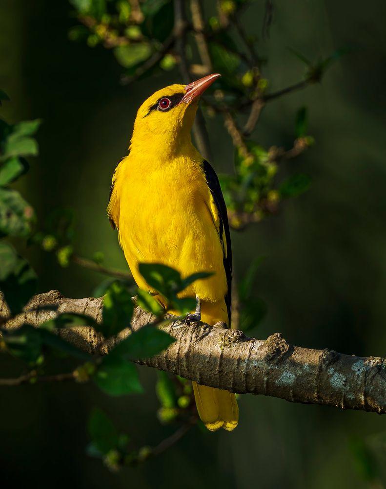Photo in Animal #wildlife #birds of india #nature #bird #oriole #golden oriole #yellow #golden