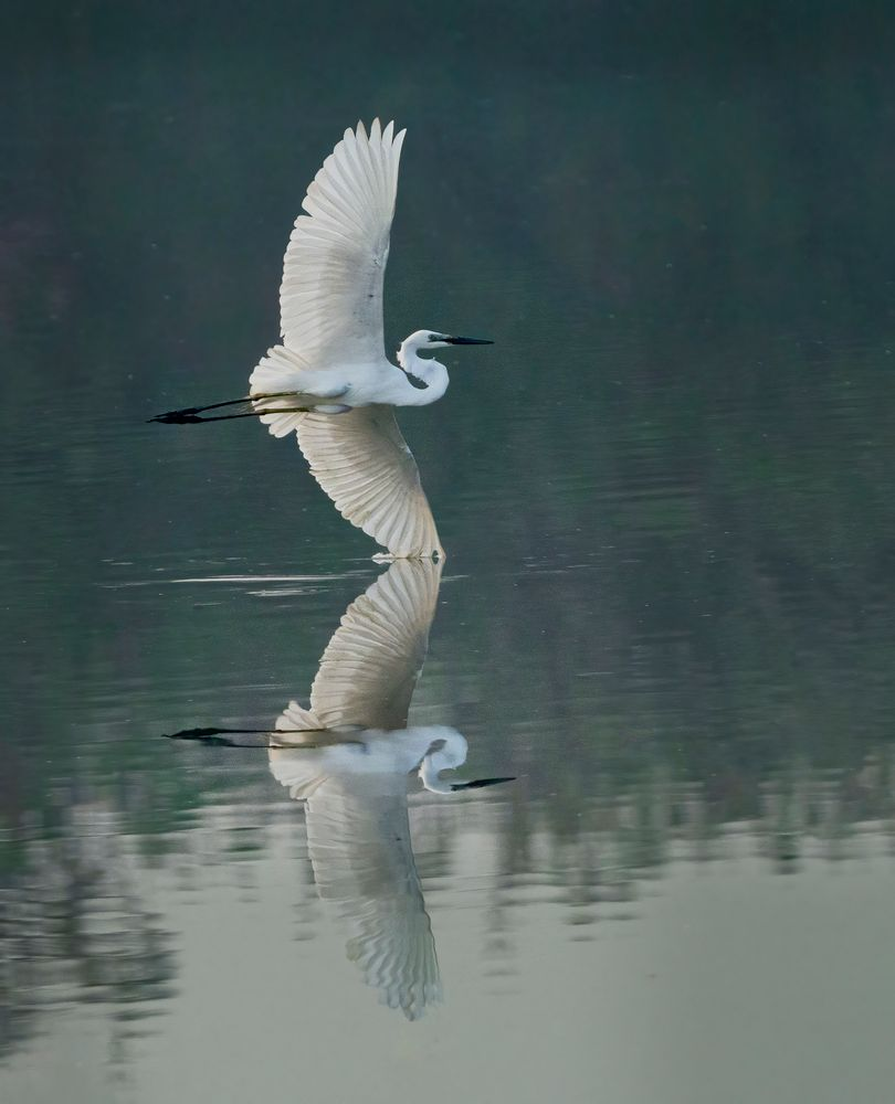 Photo in Animal #wildlife #birds of india #nature #reflection #egret