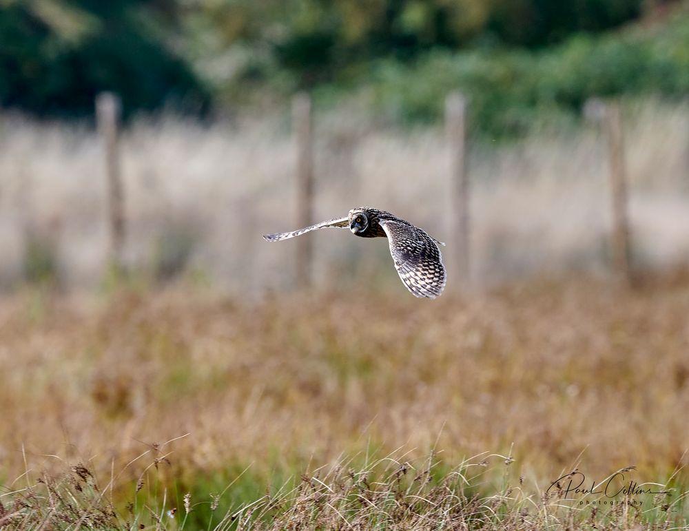 Photo in Animal #nikon d850 #nikkor 500 f4 #strigiformes #owls #short-eared owl #united kingdom #yorkshire #rspb adwick washland #wild bird
