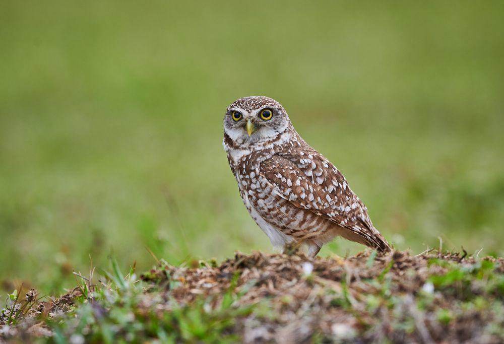 Wild Burrowing Owl guarding it's underground burrow