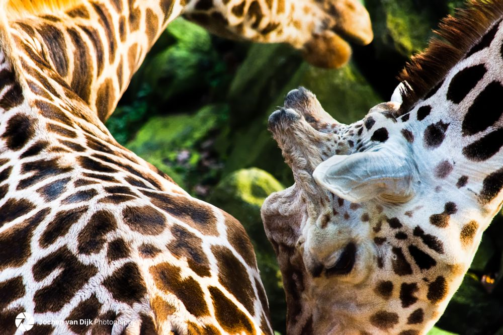 Photo in Animal #giraffe #africa #south africa #kenya #tanzania #contrast #close-up #wildlife #animal #safari #savannah