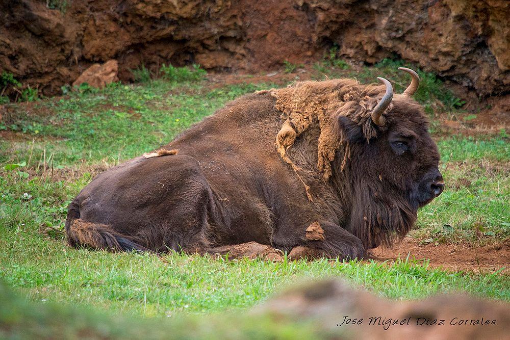 Photo in Animal #bisonte #spain #españa #cabarceno #santander #mountain #montaña #river #rio #lake #lago