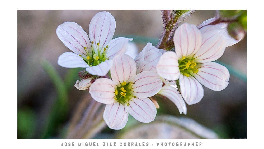 Photo in Macro #macro #españa #spain #extremadura #cáceres #plasencia #jerte #ambroz #gata #hurdes #vera #villuercas #flower #flores