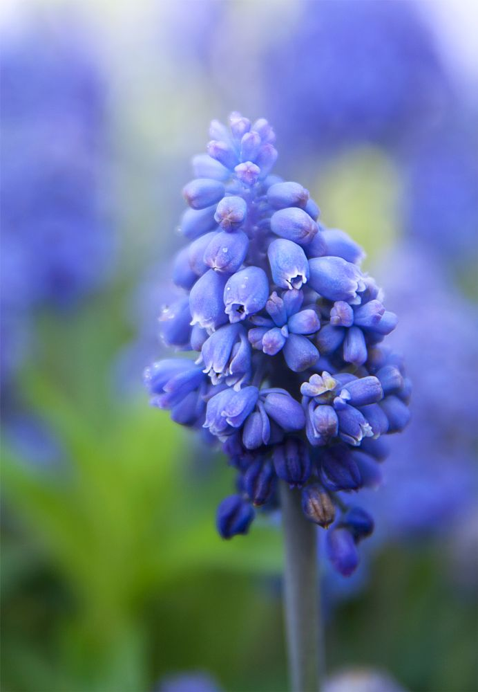Photo in Nature #muscari #flowers #murine hyacinth #blue #spring
