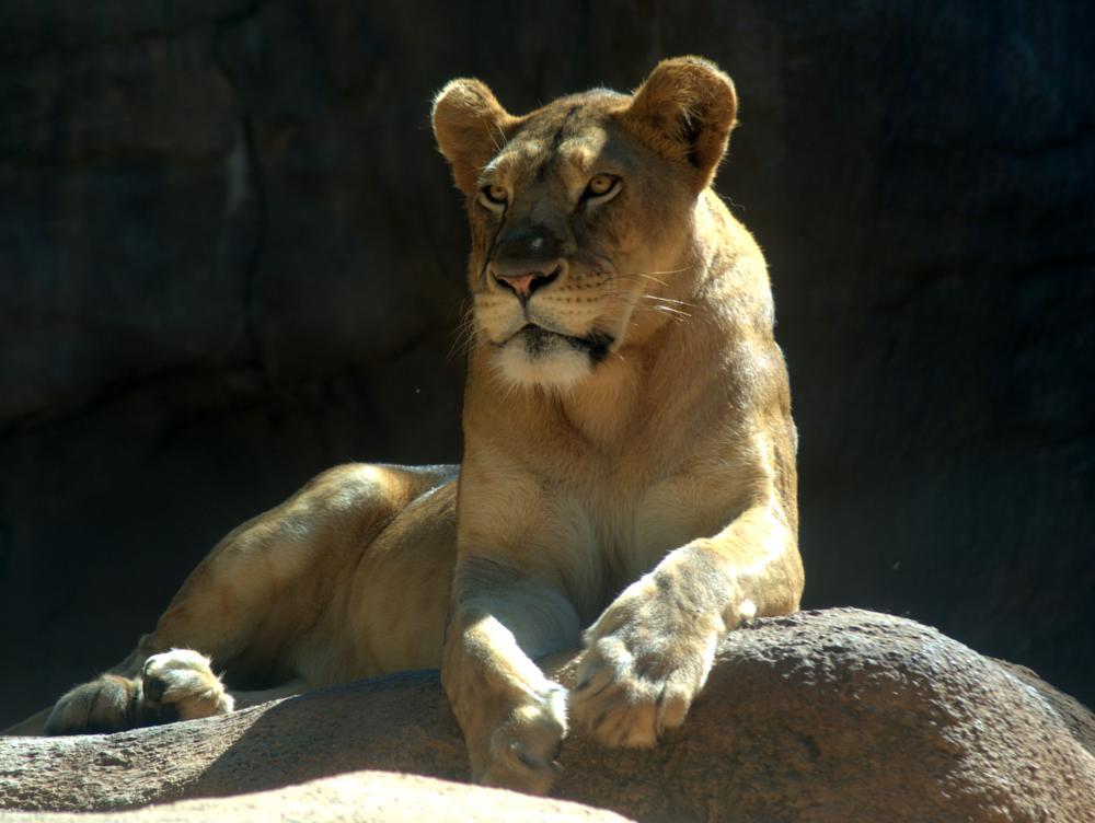 Photo in Animal #lion #lioness #wild #big cat