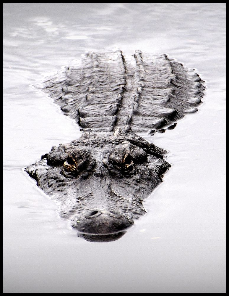 Photo in Animal #alligator #scary #up close