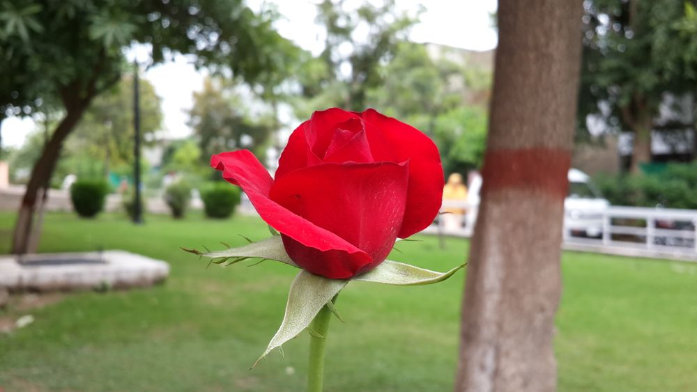 Photo in Nature #red rose