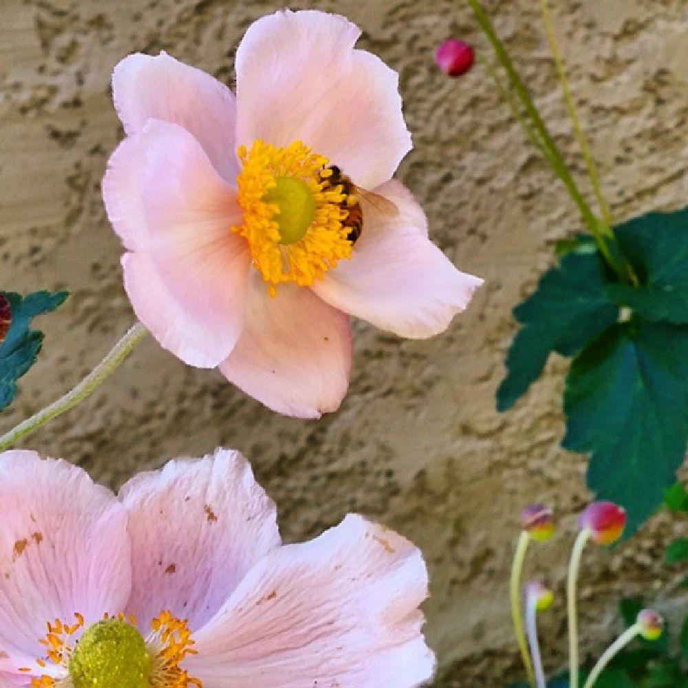 Photo in Nature #anemone #bee #flowers #garden #nature