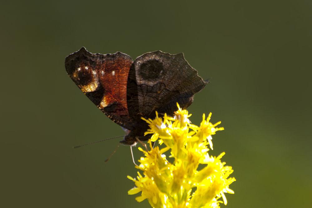 Photo in Macro #light #nature #autumn #butterfly #macro #animals