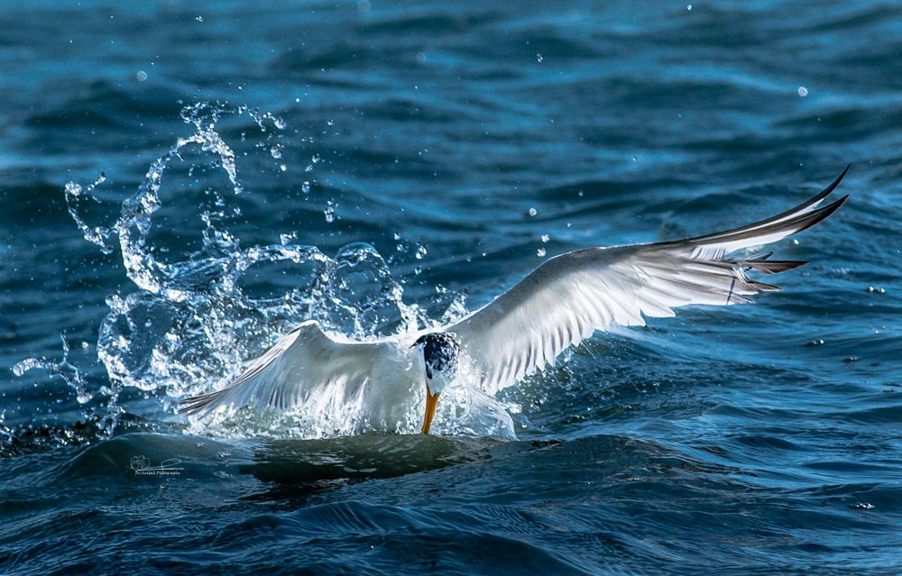 Photo in Animal #lesser crested tern #bird #water #jump out #nikon #nature #nikkor #300mm f/4 #freeze #motion