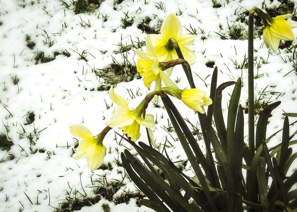 Photo in Nature #daffodils #flowers #snow