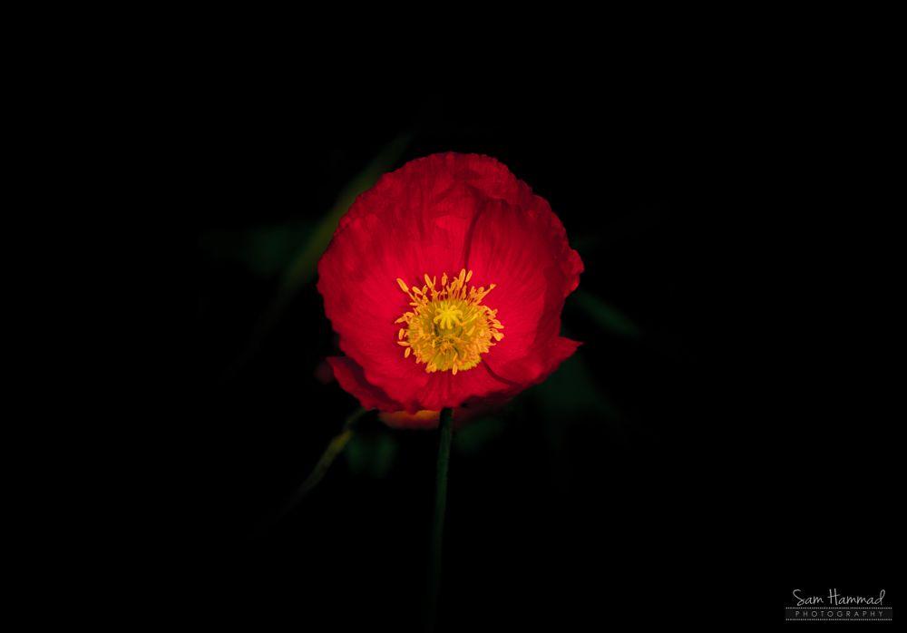 Photo in Macro #remembrance poppy #poppy #flower #red