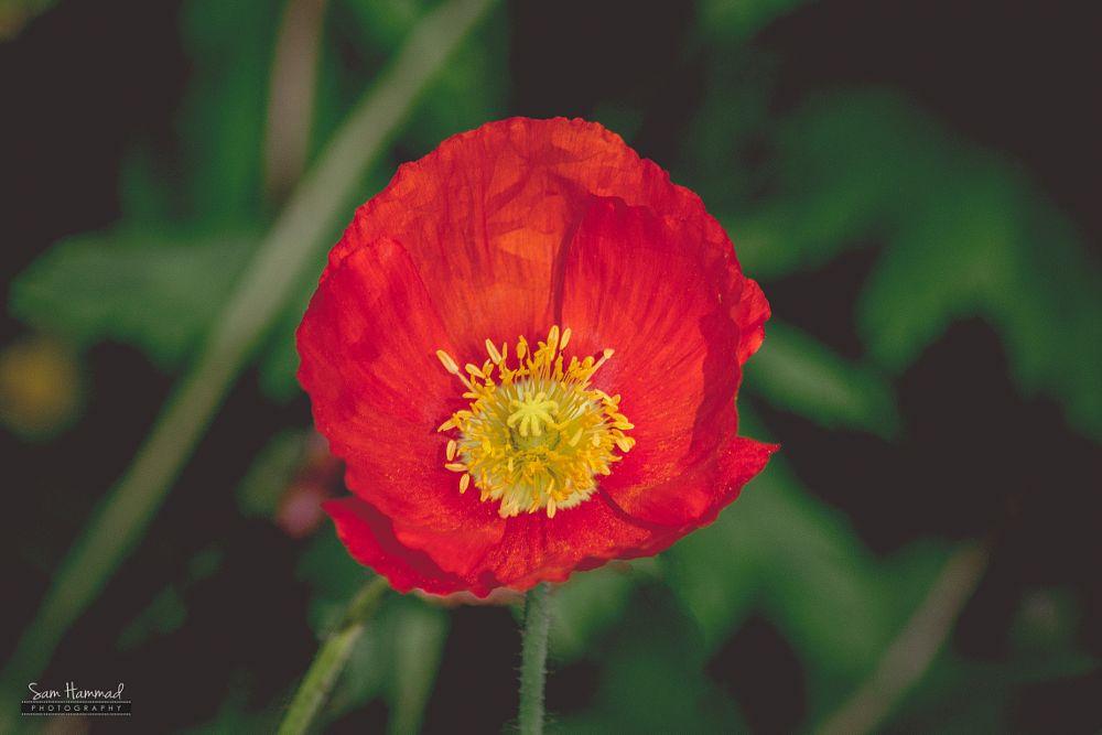 Photo in Macro #poppy #red #flower