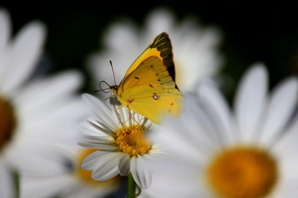 Photo in Macro #butterfly #daisy #flower