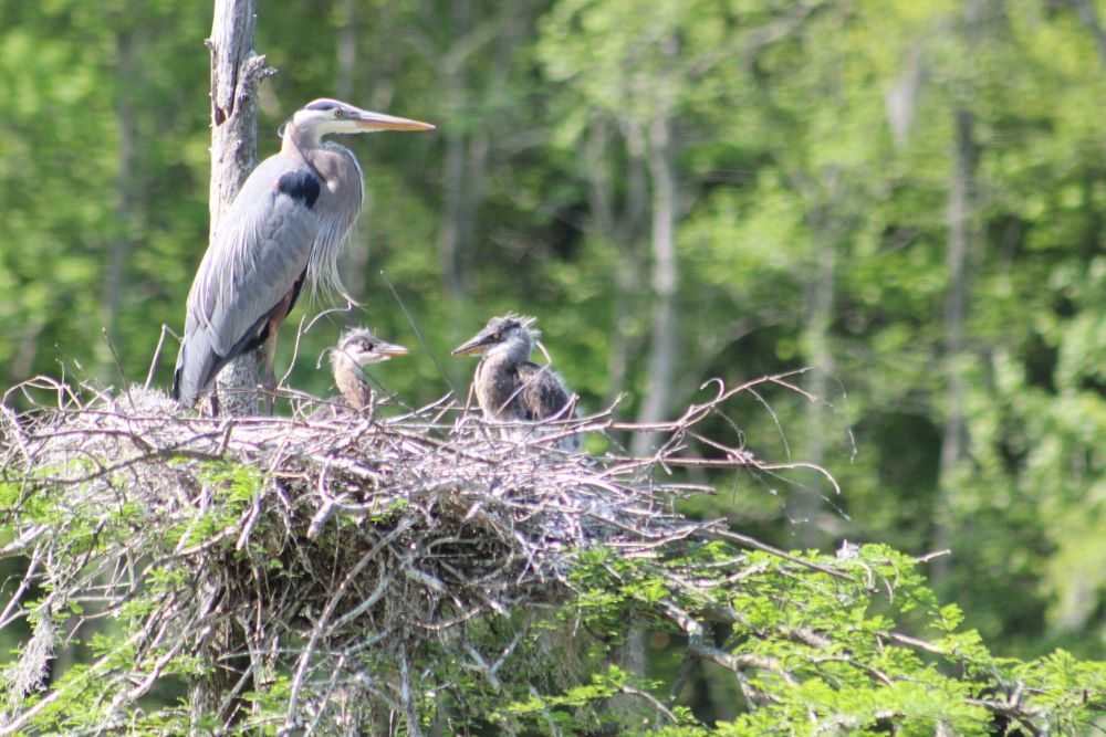 Photo in Animal #blue heron #birds #nest
