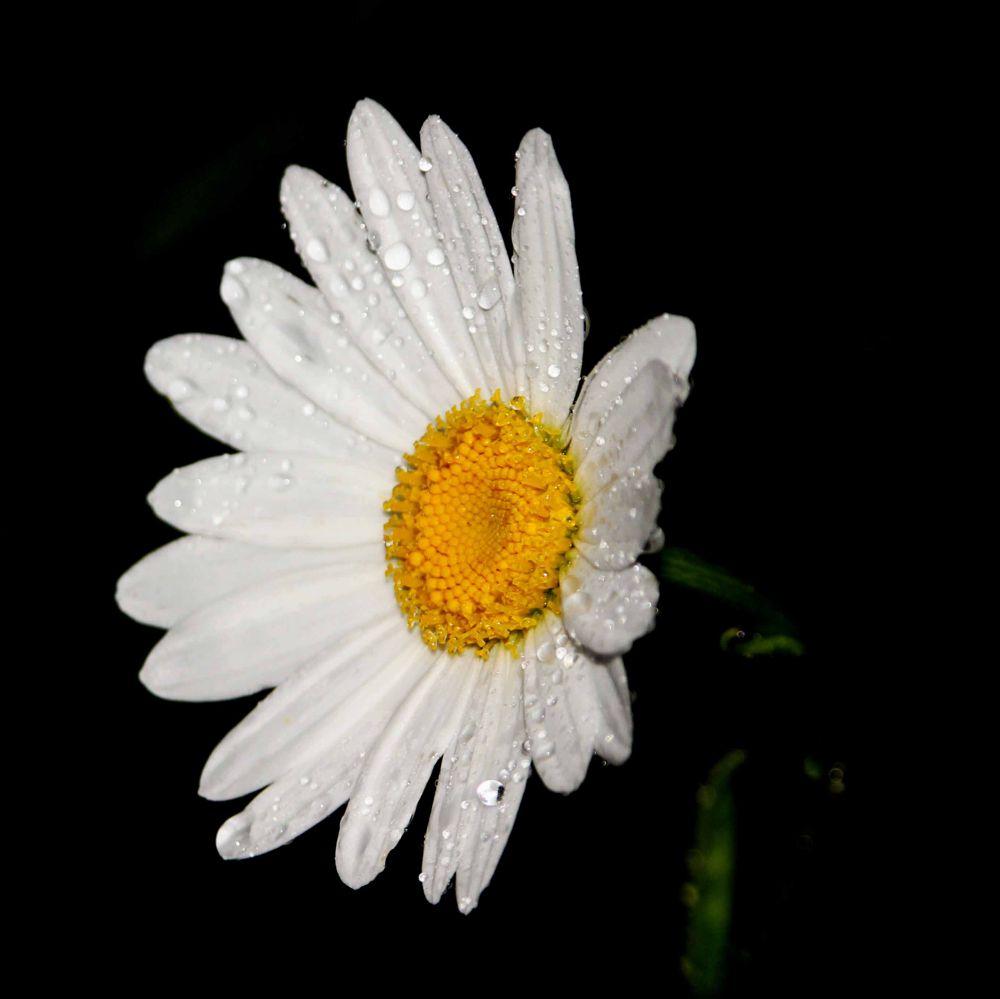 Photo in Macro #daisy #raindrops #rain #flower