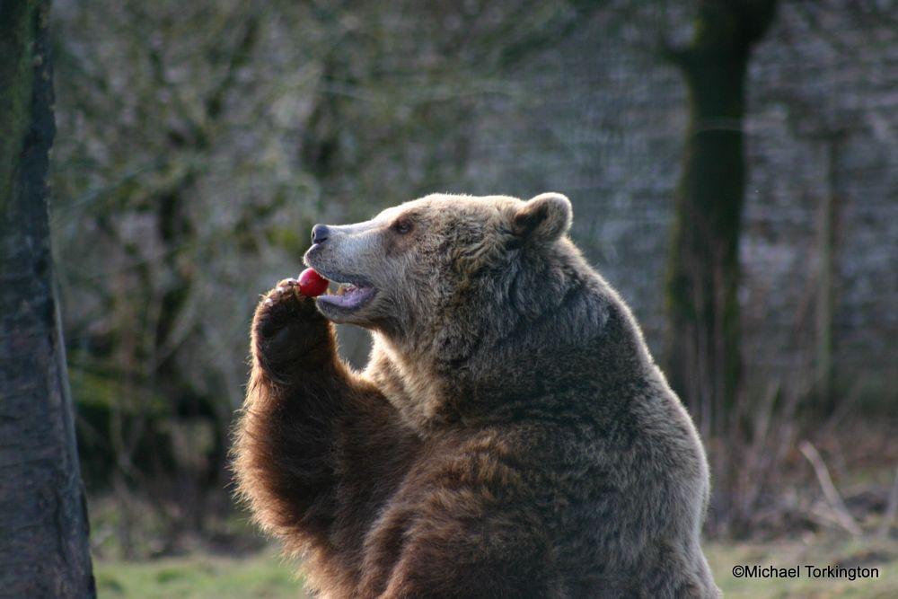 Photo in Animal #bear #feeding #meat
