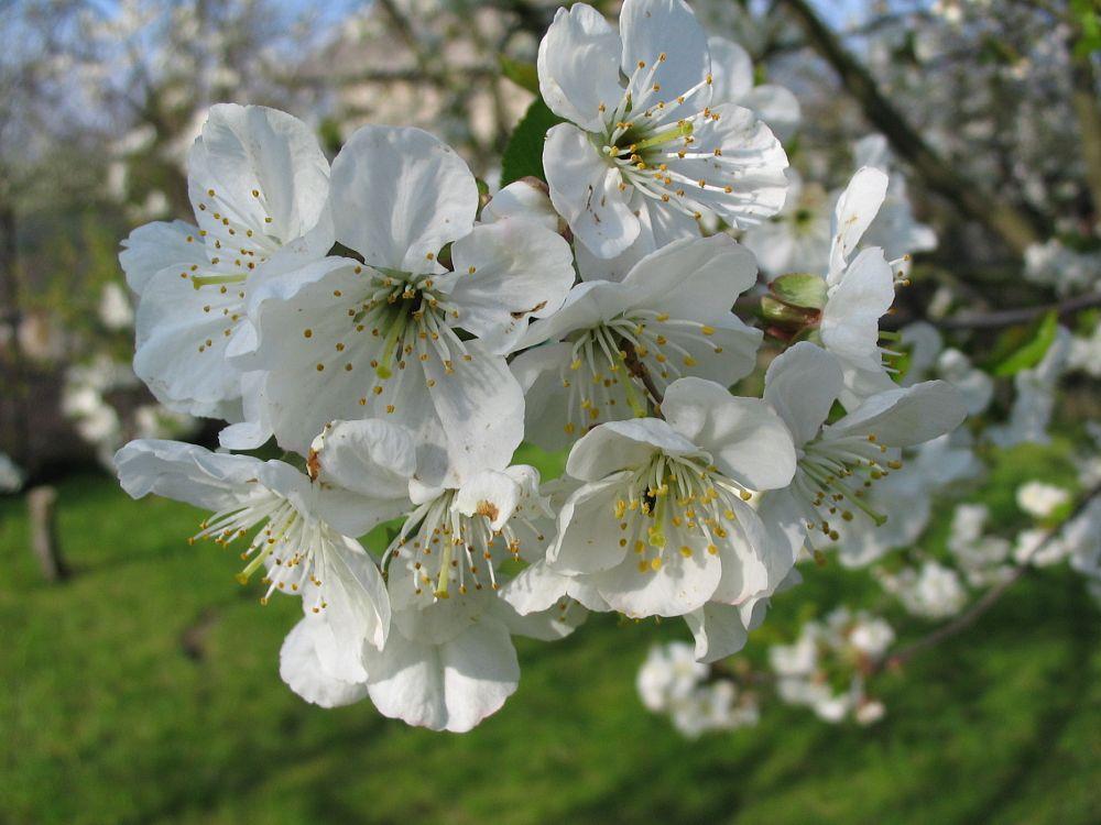 Photo in Random #tree #flower #white #spring #grass #blue sky
