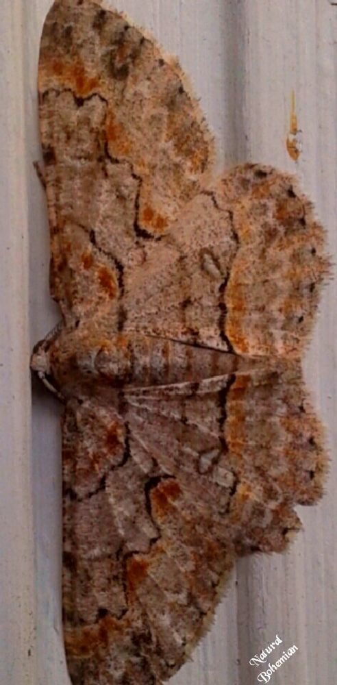 Photo in Nature #moth #large #nature