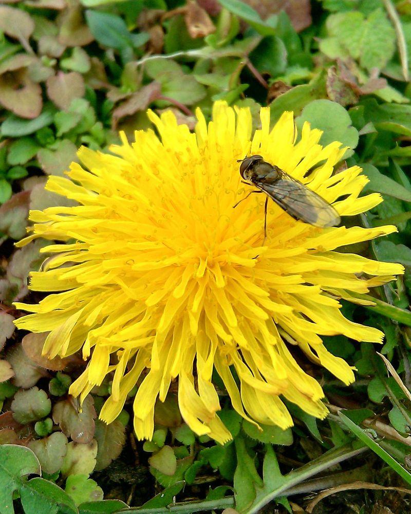 Photo in Nature #dandelion #bug #summer