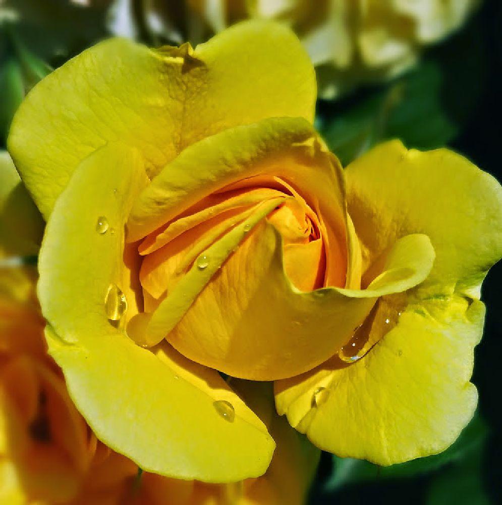 Photo in Nature #flowers #rain #drops