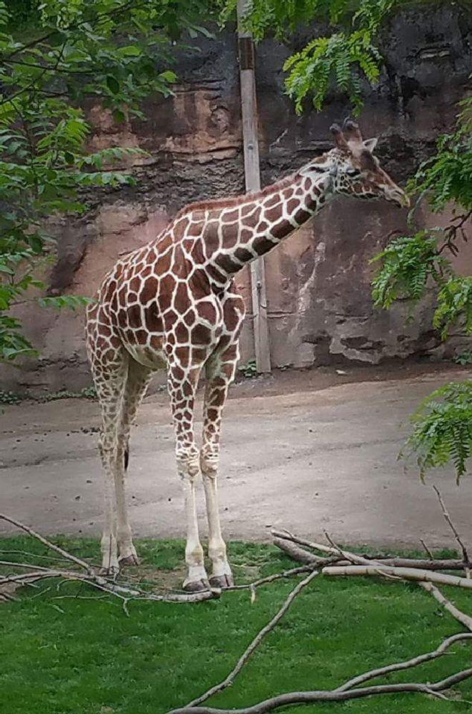 Photo in Animal #zoo #giraffe #nature
