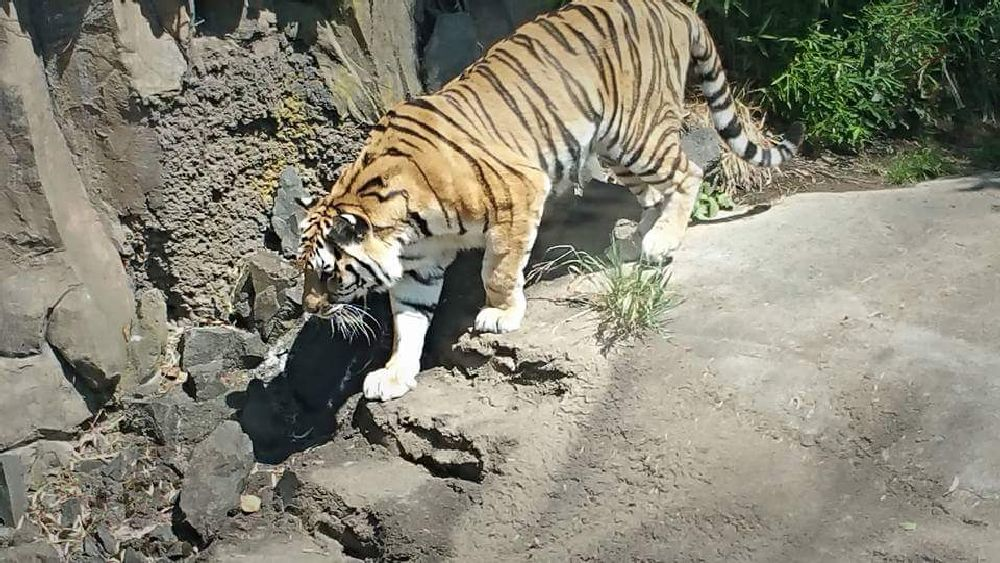 Photo in Animal #tiger #zoo #animal #nature