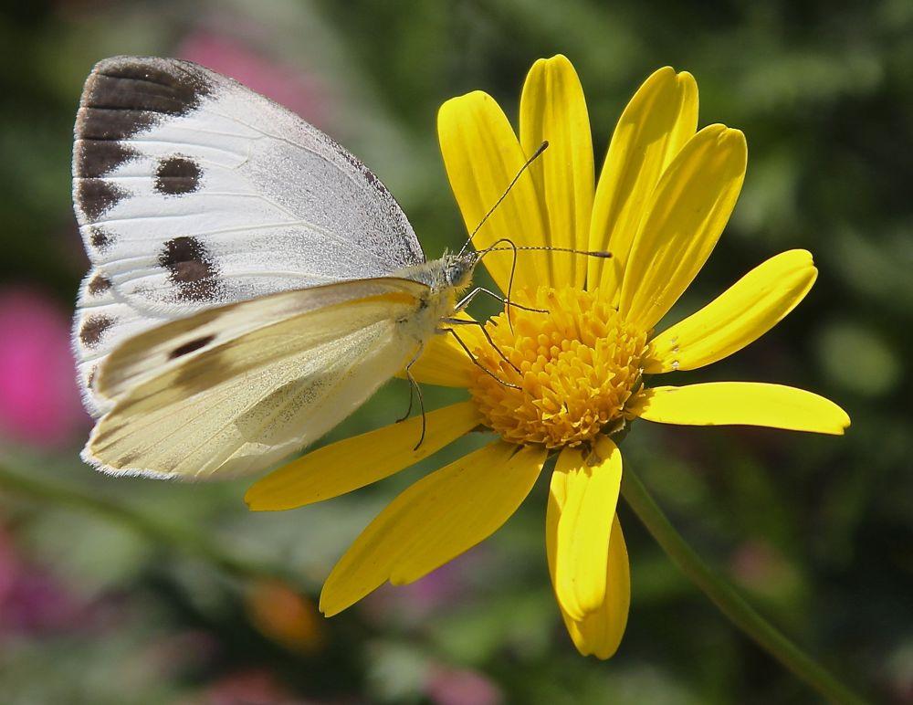 Photo in Nature #pieris canidia