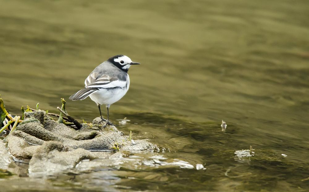 Photo in Animal #wag-tail #bird #common #bhutan