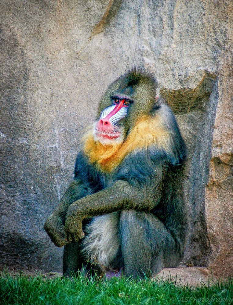 Photo in Animal #baboon #phoenix #zoo #primate #colorful