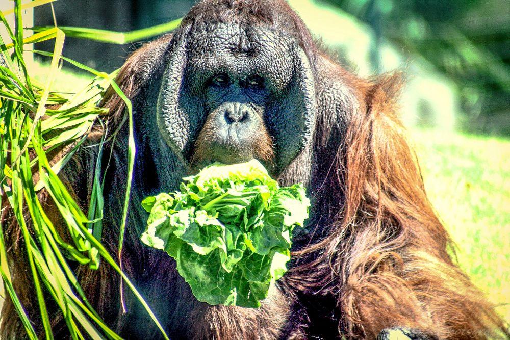 Photo in Animal #phoenix #zoo #bornean #orangutan #primate