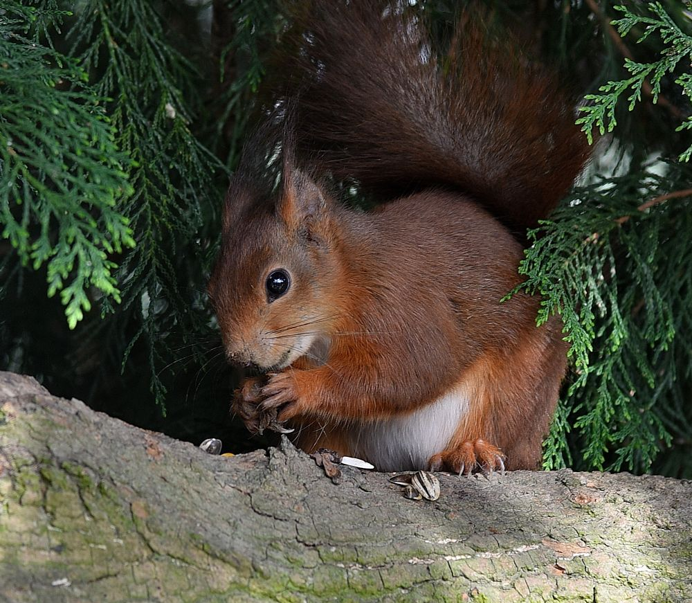 Photo in Animal #cat #red #squirrel