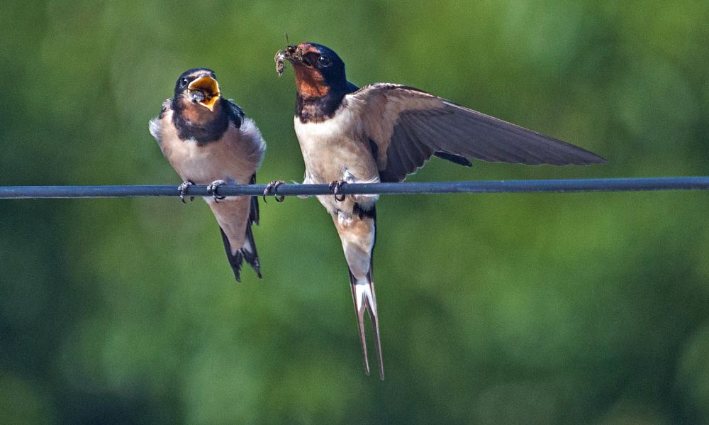 Photo in Nature #swallows #birds #wildlife #nature