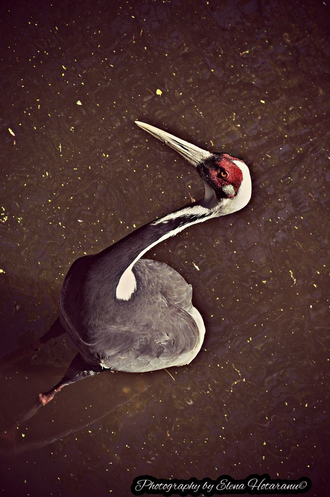 Photo in Nature #nature #great red headed heron #heron #brown #water #red