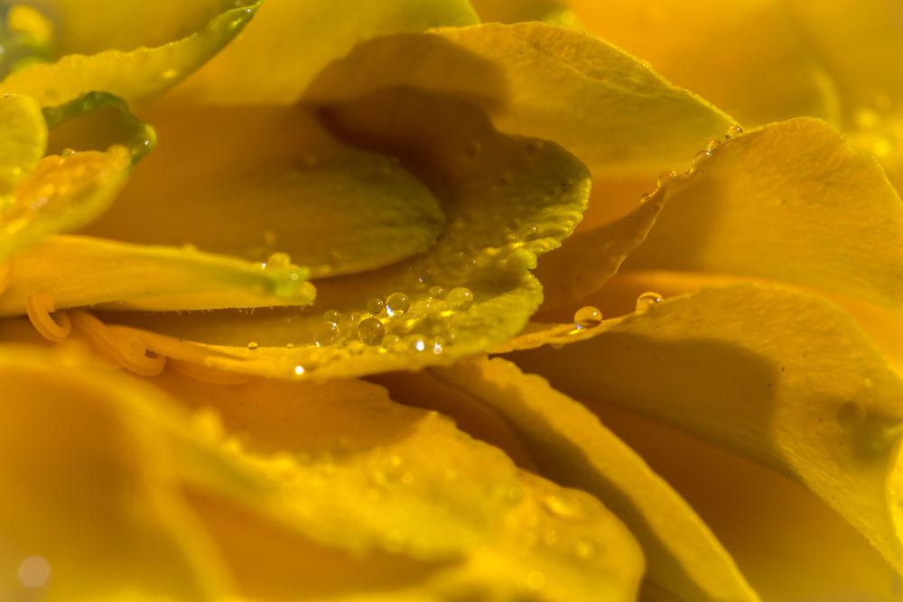 Photo in Macro #macro #flower #dew #canon #eos #650d #t4i #rebel #yellow #18-55mm #reverse