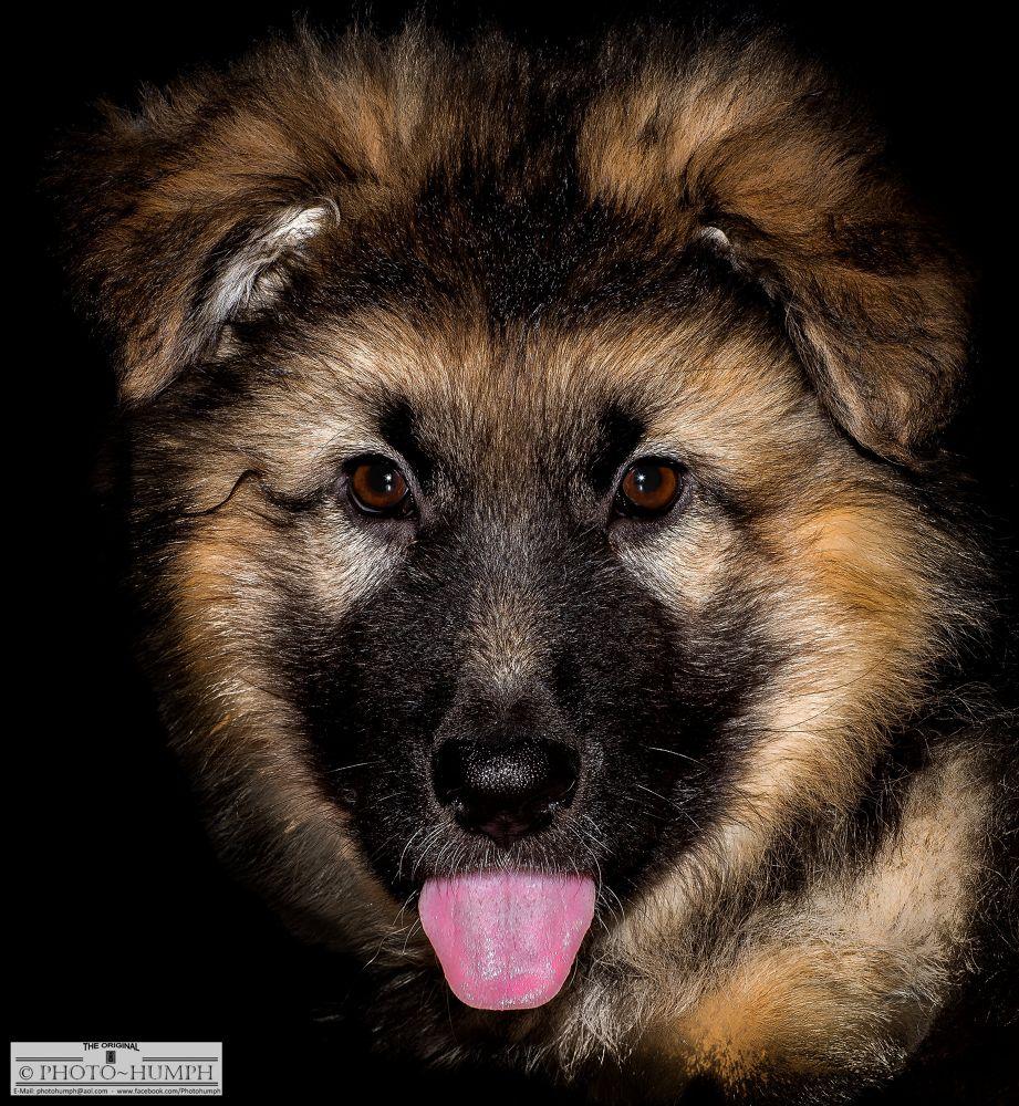 Photo in Animal #animal #photohumph #portrait #german shepherd #pet #pet photography