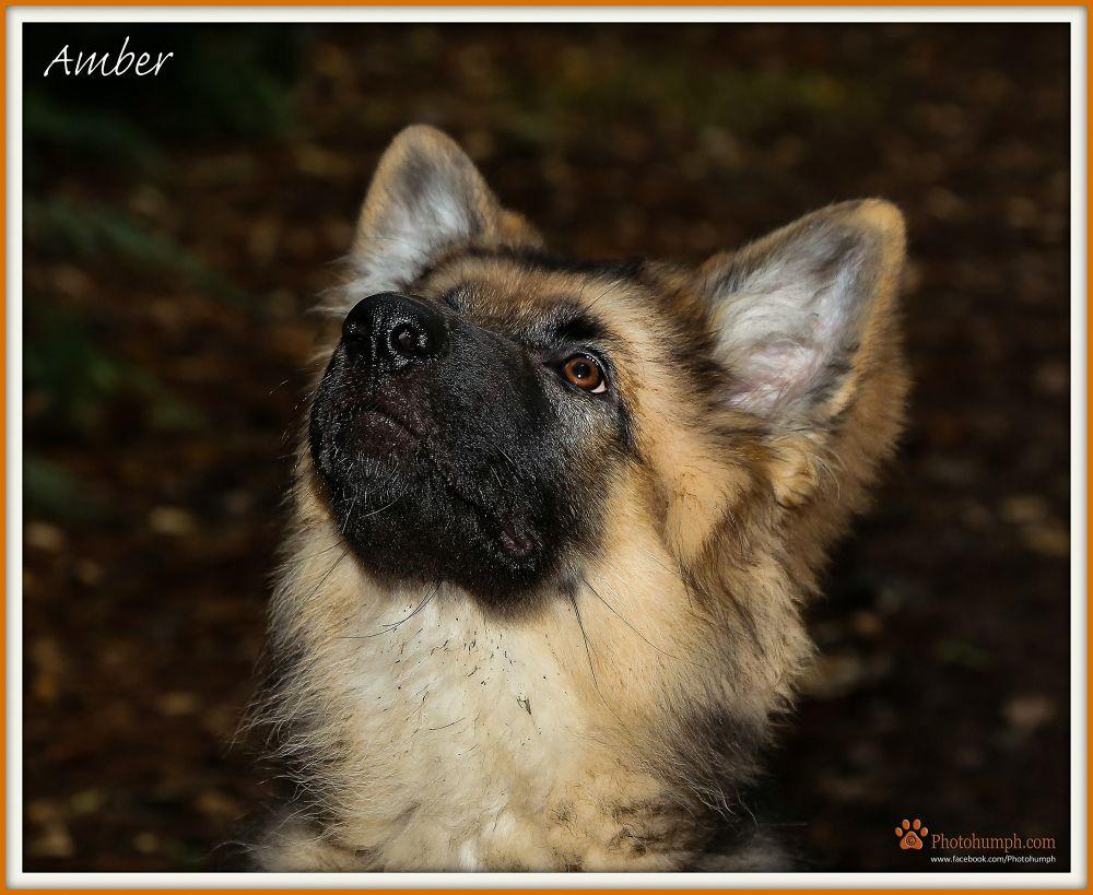 Photo in Animal #animal #pet #photohumph #portrait #pet photography #german shepherd