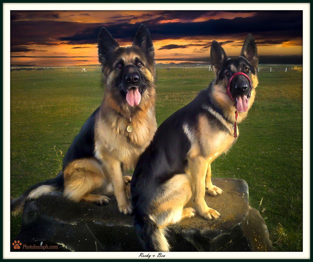 Photo in Animal #photohumph #dog #german shepherd #pet photography #pet #portrait #animal