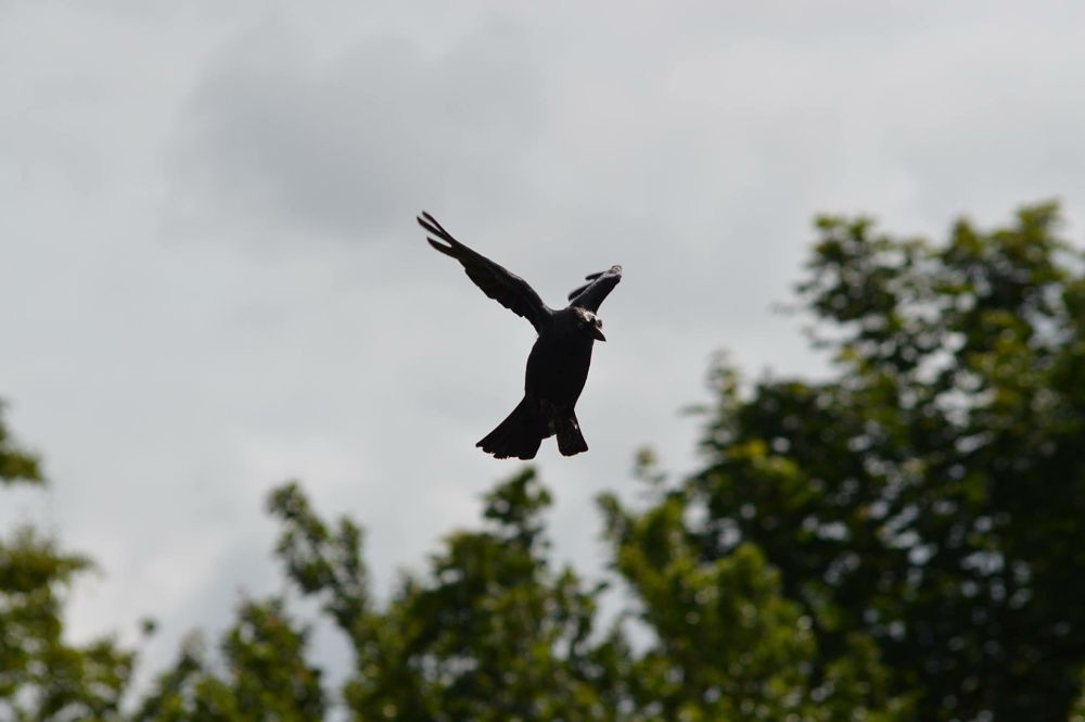 Photo in Animal #crow #jackdaw #landing #bird