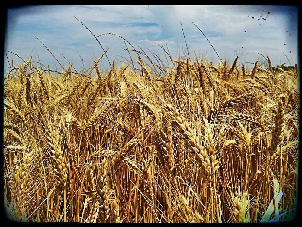 Photo in Rural #wheat #close-up #winter