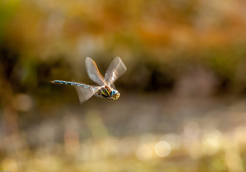 Photo in Nature #sudenkorento #dragonfly