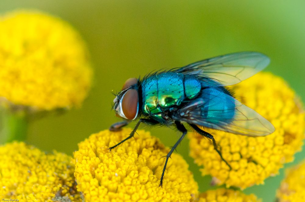 Photo in Nature #hyönteinen #insect #fly