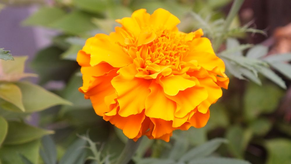 Photo in Nature #flower #lantana camara #bunga tahi ayam